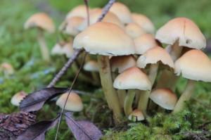 Schwefelköpfe | Waldpilze als Bereicherung der Rohkost-Ernährung